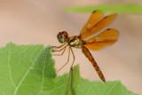 Eastern Amberwing.jpg