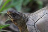 Three-Toed Box Turtle.jpg