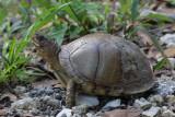 Three-Toed Box Turtle1.jpg
