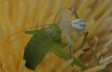 Crab Spider eating Katydid.jpg