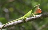 Green Anole.jpg