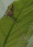 Jumping Spider with Damselfly.jpg
