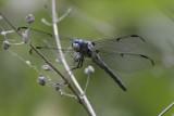 Great Blue Skimmer.jpg