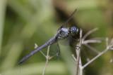 Great Blue Skimmer2.jpg