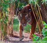 Maylan Tiger - (Panthera tigris jacksoni)