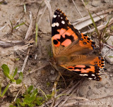 Painted Lady -  (Vanessa virginiensis)