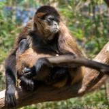 Black-Handed Spider Monkey - (Ateles geoffroyi)