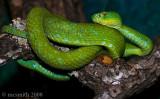 Rowley's Palm Pit Viper - (Bothriechis rowleyi)