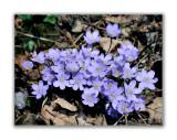 149 Hepatica nobilis