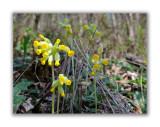 812 Primula veris columnae