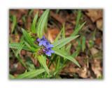 1605 Pulmonaria australis