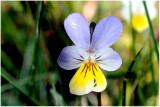 Swiss Wild Flowers U - Z