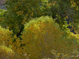 Zoom Shot of Cottonwood Leaves