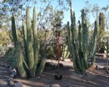 Native organ pipe and totem - removed