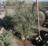 Baja Elephant Tree - Pachycormis discolor removed. Died from freeze 2010, 2011