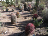 Different ferocactus - most removed