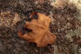 Fallen Sycamore Leaf