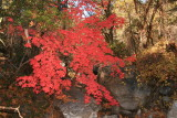 Bigtooth Maple Tree