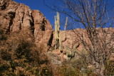 Leaning Saguaro on the south slope of Magma Ridge