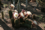 Echinopsis hybrid in the Cactus Garden