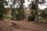 Some of the big Eucalyptus along Queen Creek