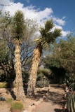 Two very old Yucca valida