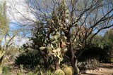 Two very old Opuntia leucotricha in the Cactus Garden