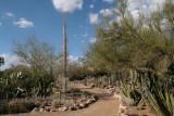 Boojum Tree in the Cactus Garden