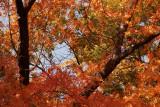 Chinese Pistachio Trees