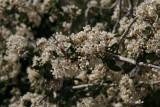 Ceanothus greggii - Buckbrush