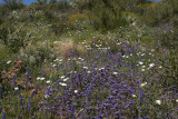 Phacelia, Lupine and Chicory