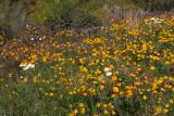 Poppies, Blue Dicks, Lupine, Chicory