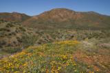 Desert wildflowers along FS 650