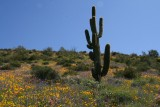 Desert wildflowers cover a slope above FS 650