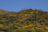 Hillside yellow with Brittlebush