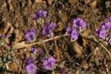 Scorpion Weed - Phacelia crenulata