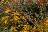Brittlebush and Mallow
