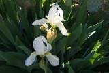 Irises on a Grave