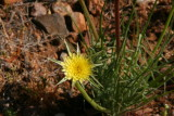 Silver Puffs Flower - Microseris linearifolia