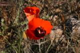 Mariposa Lily - Calochortus kennedyi