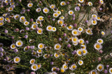 Fleabane Daisy - Erigeron divergens