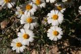 Blackfoot Daisy - Melampodium leucanthum