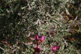 Ratany - Krameria species