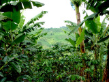 Coffee bushes and banana trees