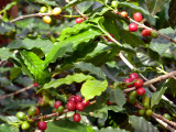 Ripe red coffee fruits