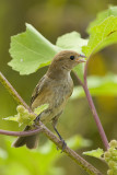 HOUSE FINCH - JUVENILE