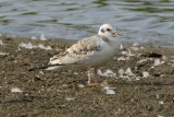 BONAPARTE'S GULL - IMMATURE
