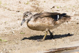 WOOD DUCK - JUVENILE