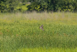 NORTHERN HARRIER HUNTING  IN THE FIELD