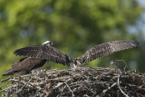 IMMATURE OSPREY EXTENDS ITS WINGS